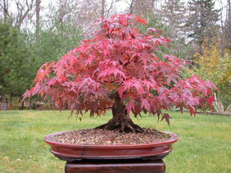 Red Maple japanese