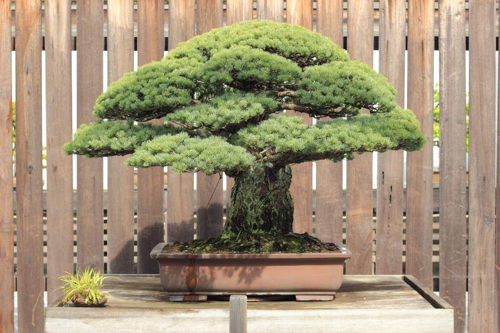 The Japanese White Pine